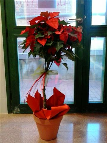 foto poinsettia 2014 (Small)